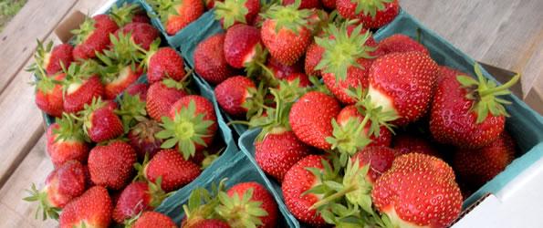 Strawberry Season Underway!