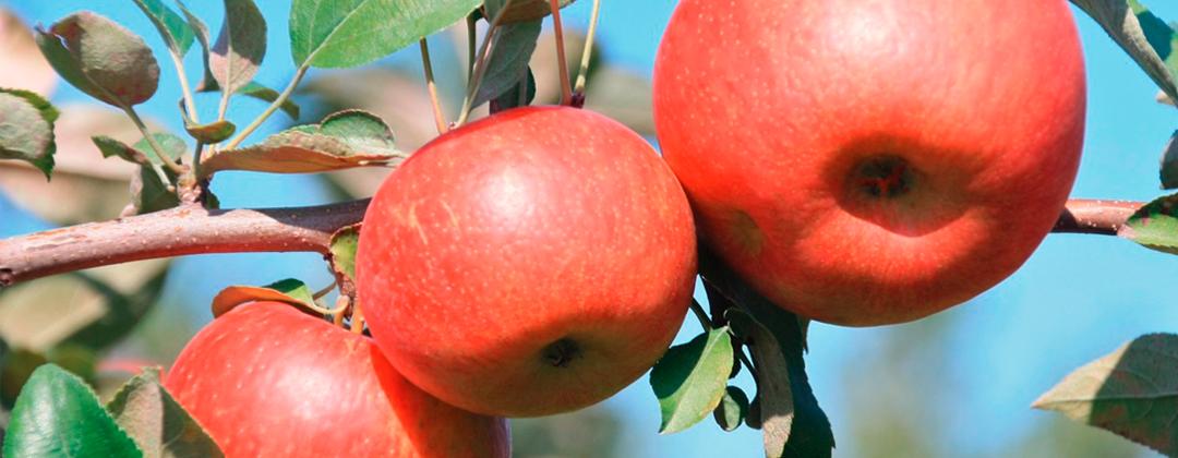 MN Grown Apples