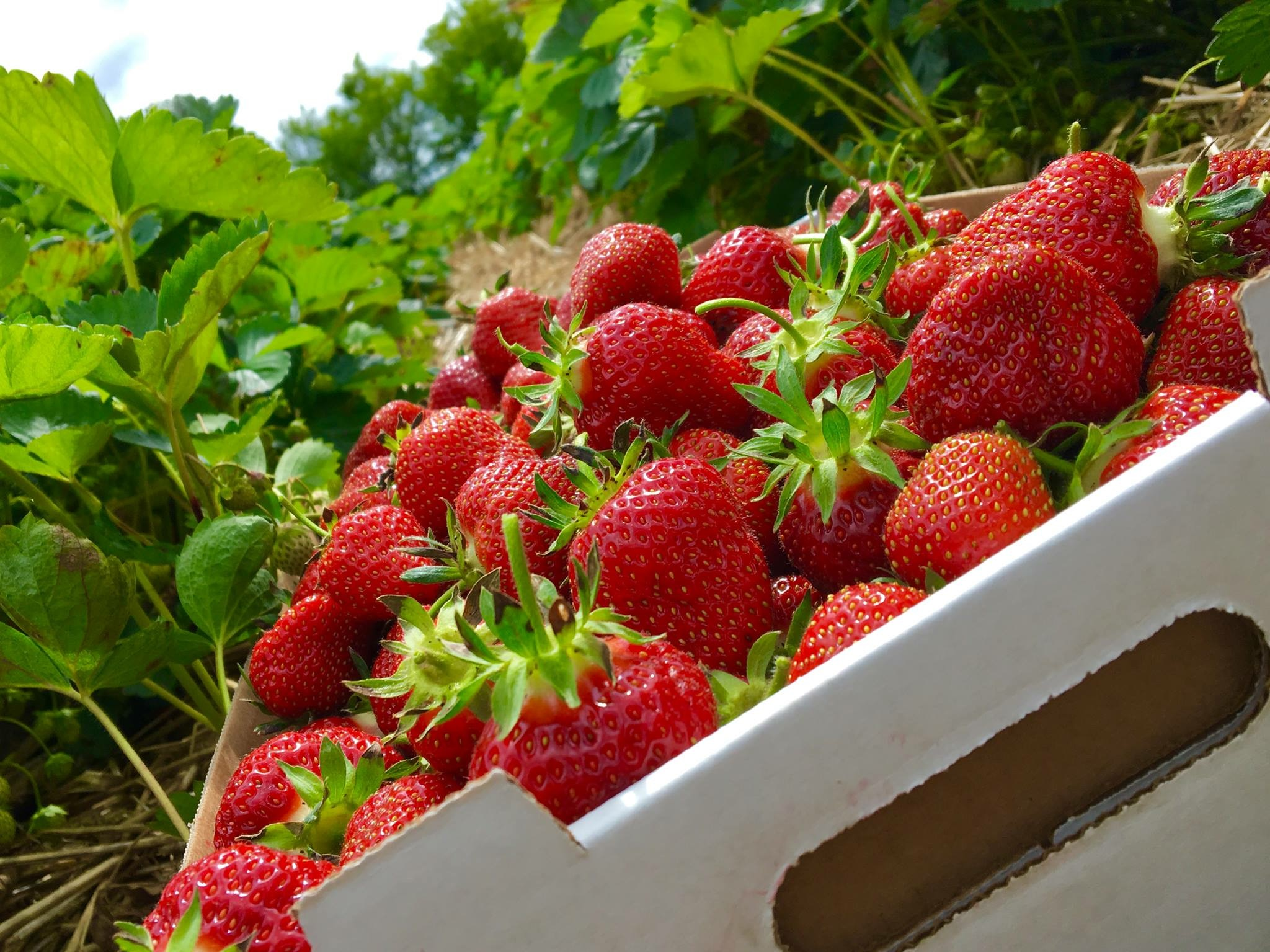2020 Strawberry Season Begins